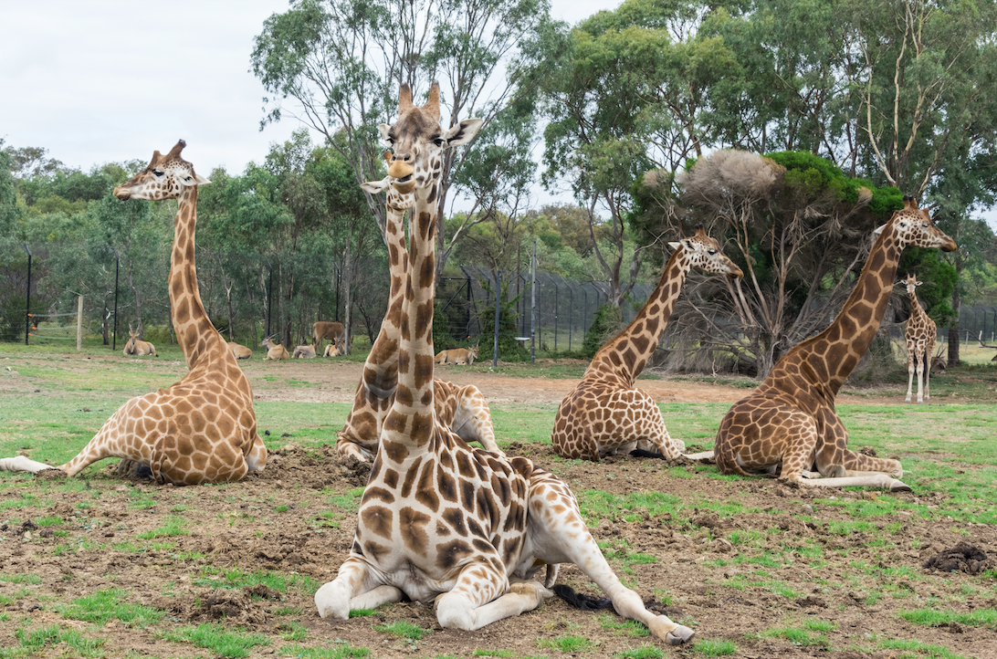 Werribee Open Range Zoo showing happy giraffes in a group.